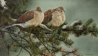 Tourterelles tristes / Mourning Doves