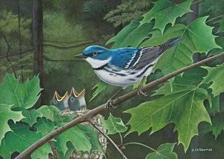 Le retour de la Paruline Azurée / The Return of the Cerulean Warbler