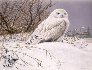 Harfang de Neiges / Snowy Owl