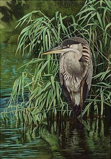 Grand héron (immature) /Great Blue Heron (Young)